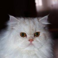 Снежный котик :: Alex