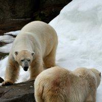 белые медведи :: Иван Косачев