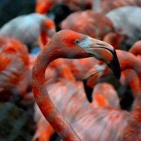 Фламинго :: Иван Косачев