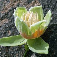 Плод тюльпанового дерева (Лириодендрон тюльпановый) :: Андрей Махнык