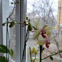 Орхидея :: Алина Коваль