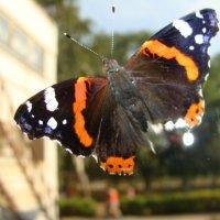 бабочка Адмирал... :: Наталья Меркулова