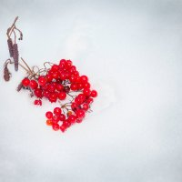 Калина на снегу :: Игорь Николаев