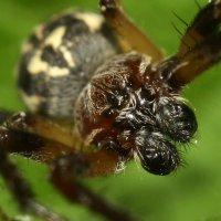 Портрет паука. :: Наталья Цветкова