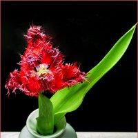 Тюльпан сорта Барбадос (Barbados) :: Ольга Дядченко