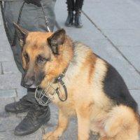 Служебный пес :: Татьяна Латышева