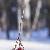 Ягоды, пережившие зиму. :: Валерий Молоток