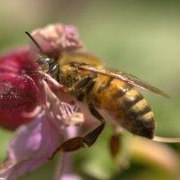 пчёлка в работе :: Viktor Schwindt