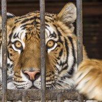 тигр :: Аркадий Краснояров