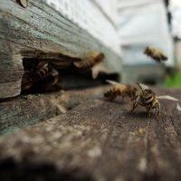 Веселый пчел :: Александр Байдалин