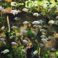 Очень кровожадные рыбки.. :: ирина )))