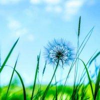 Dandelion :: Vic Noon