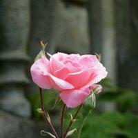 Роза :: Андрей Воробьев