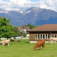 Швейцарские коровки :: Екатерина Пирогова