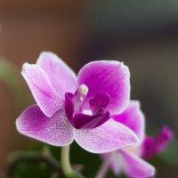 орхидея :: Анатолий Пименов