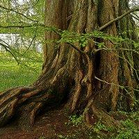 дерево :: Александр Корчемный