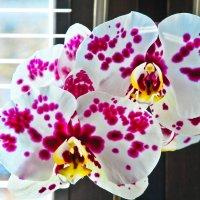 Orchidea :: Alena Rybak
