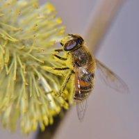 мартовская пчёлка :: Nelly G