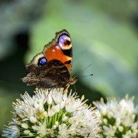 Бабочка :: Алексей Павлов