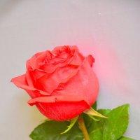 Праздничный цветок :: юрий Амосов