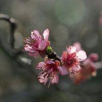 Цветение персика :: Виолетта