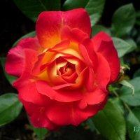 роза :: Елена Константиниди