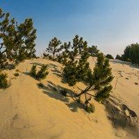 Сосна песчаная :: Владимир Самсонов