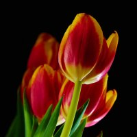 Tulip :: Георгий Муравьев