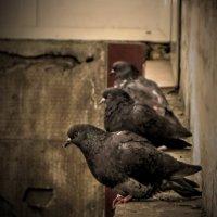 голуби :: Ксения Грибанова