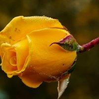 Осенняя роза :: Андрей