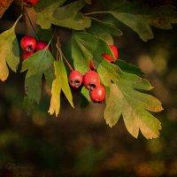 Плоды боярышника :: Валерий Ткаченко