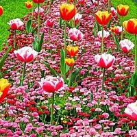 маргаритки + тюльпаны :: Александр Корчемный