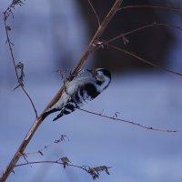 Зимний птах... :: Дмитрий Гортинский