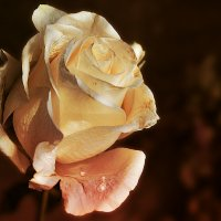 Роза :: Виктор