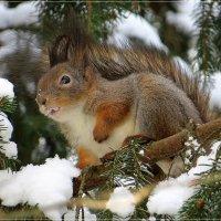 Снегоежка... :: Андрей Медведев