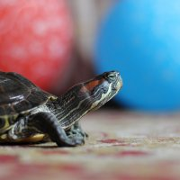 Внимание, черепаха! :: Андрей Стафеев