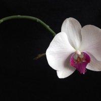 Мне орхидея язычок показала! Ну и шалунья... :: Сергей Тимошенко