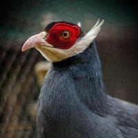 Ушастый фазан :: Станислав Антонов
