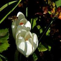 пчела и цветок :: Александр Корчемный