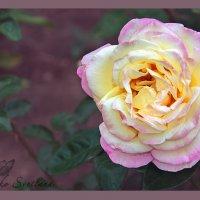 роза :: ♕ Svetlana FOTO Evseenko