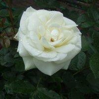 Белая роза :: Anton Сараев
