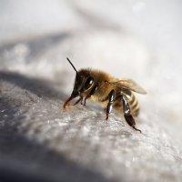 Пчела-цистерна :: Александр Русинов