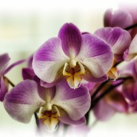Орхидеи :: Boris Alabugin