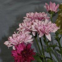 Шесть хризантем в лиловых тонах :: Наталья Золотых-Сибирская