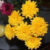 Жёлтые хризантемы :: Наталья Золотых-Сибирская
