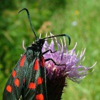 Бабочка Пестрянка клеверная  (Zygaena trifolii) :: Генрих Сидоренко
