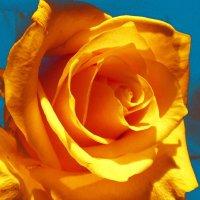 Храбрая  роза :: Ирина Сивовол