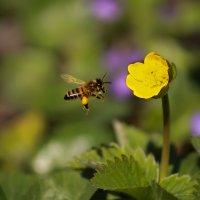 пчелка-трудяжка :: Светлана Попова