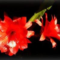 Цветы кактуса :: Julia Martinkova