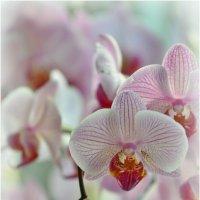 Орхидеи (2903-1) :: Николай Е